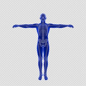 Ilustração anatômica detalhada do esqueleto humano