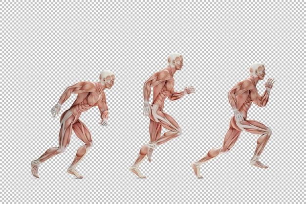 Ilustração anatômica do ciclo de corrida