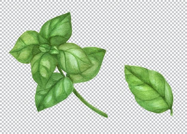 Ilustração botânica em aquarela. folha e ramo de manjericão verde fresco