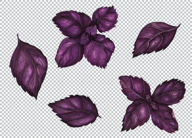 Ilustração botânica em aquarela. folha e ramo de manjericão violeta fresco