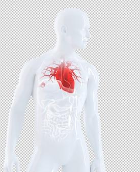 Órgãos humanos isolados focados no coração