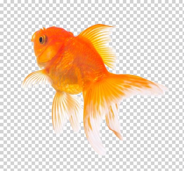 Peixe dourado isolado