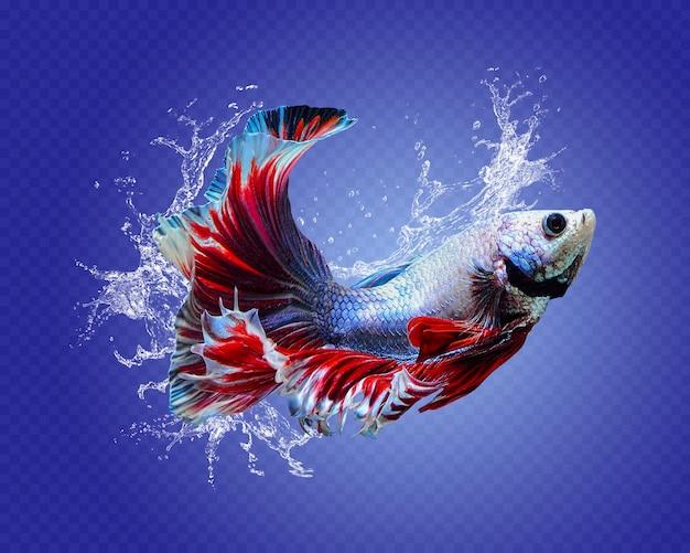 Peixes betta respingos de água isolados Psd Premium