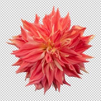 Renderização isolada de flor dália laranja