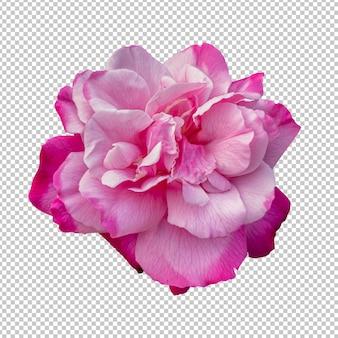 Renderização isolada de flor rosa rosa