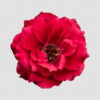 Renderização isolada de flor rosa vermelha