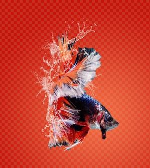 Respingos de água em peixes lutadores siameses