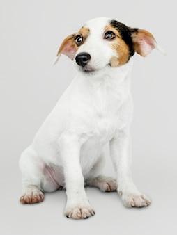 Retrato adorável do filhote de cachorro de jack russell retriever
