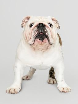 Retrato de cachorro adorável bulldog branco
