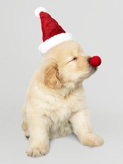 Retrato, de, um, cute, retriever dourado, filhote cachorro, desgastar, um, chapéu santa