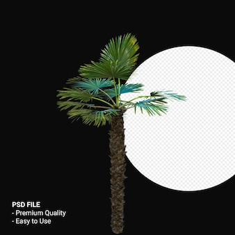 Trachycarpus takil 3d render isolado