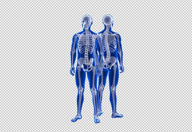 Vista frontal e traseira do esqueleto humano