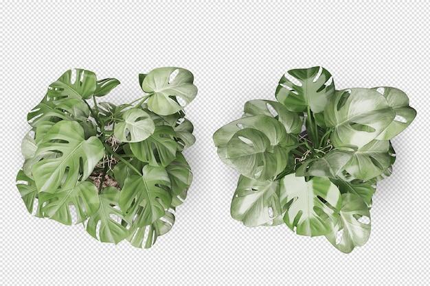 Vista superior da planta monsteras em vaso em renderização 3d