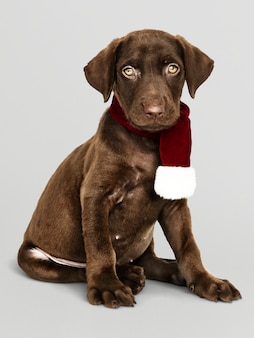 Porträt eines netten Labrador-Apportierhunds, der einen Weihnachtsschal trägt