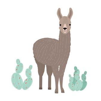 Adorable lama ou cria isolé sur fond blanc. portrait d'animal sauvage d'amérique du sud debout à côté de cactus. le bétail domestique andin. illustration vectorielle colorée en style cartoon plat.