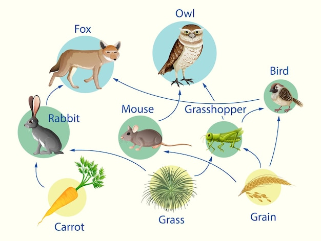 Affiche d'éducation de la biologie pour le diagramme des chaînes alimentaires