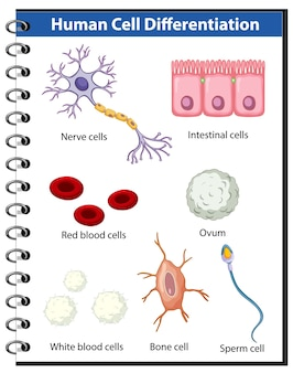 Affiche d'information sur la différenciation des cellules humaines