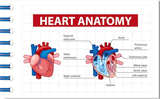 Affiche d'information du diagramme du cœur humain