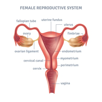 Affiche de l'utérus