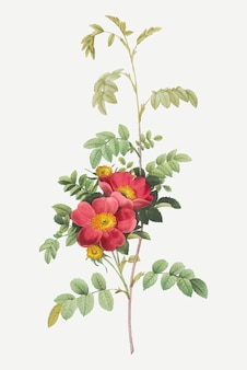 Affiche vintage alpine rose