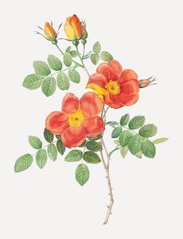 Affiche vintage de rose de briar autrichienne
