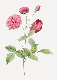 Affiche vintage rose de chine