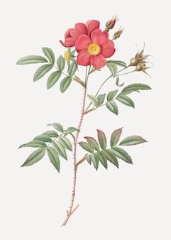 Affiche vintage rose rouge