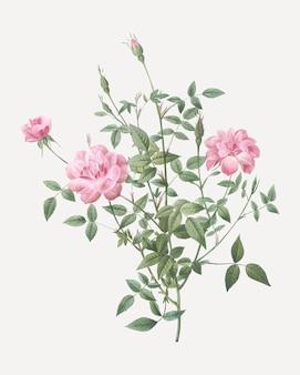 Affiche vintage de rosier nain
