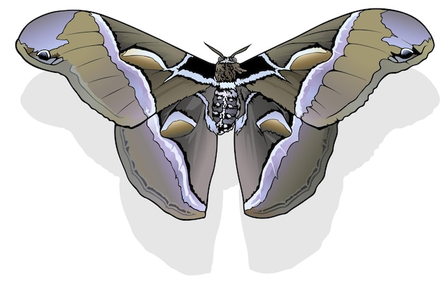 Ailanthus silkmoth butterfly samia cynthia