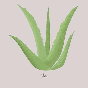 L'aloe vera vert est une plante herbacée succulente botanique.