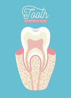 Anatomie dentaire soins dentaires sur affiche couleur
