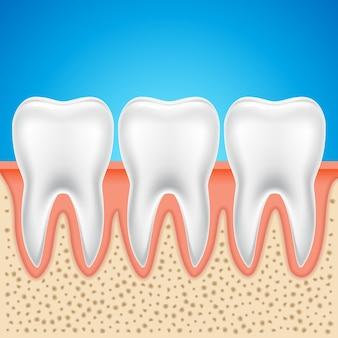 Anatomie dentaire de vecteur de dent. illustration saine d'os de dent humaine isolée.