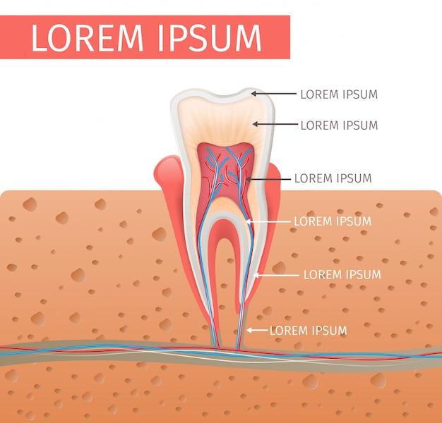 Anatomie des dents illustration réaliste en vecteur 3d