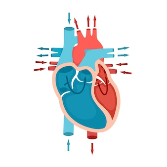 Anatomie du coeur humain avec circulation sanguine du sang à travers le concept de cardiologie cardiaque