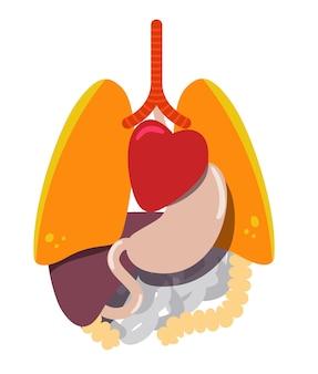 Anatomie du corps humain, organes internes