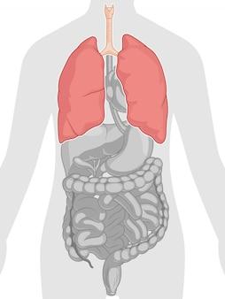 Anatomie du corps humain - poumons