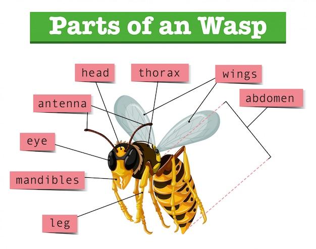 Anatomie de la guêpe avec des mots