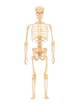 Anatomie humaine du squelette sur fond blanc. vue de face. tableau de formation médicale pour affiche éducative