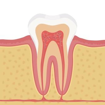 Anatomie de l'illustration de la dent humaine. structure de la dent humaine.