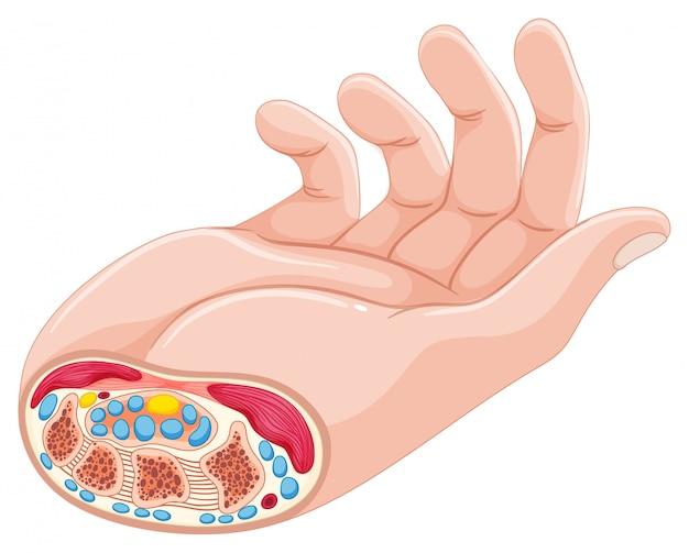 Anatomie de la main humaine sur blanc