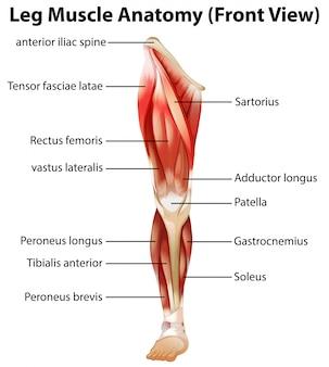 Anatomie des muscles des jambes (vue de face)