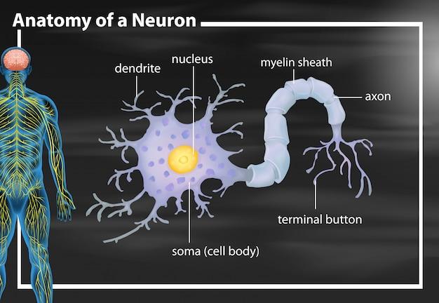 Anatomie d'un neurone