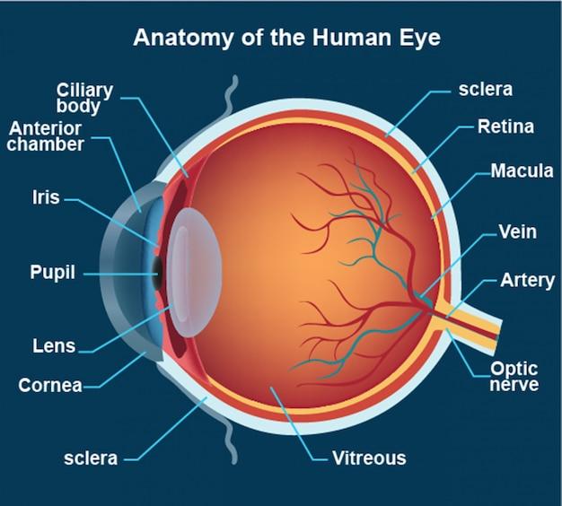 Anatomie de l'oeil humain