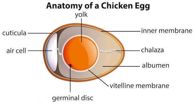 Anatomie d'un oeuf de poule