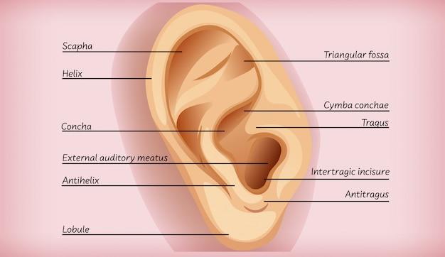 Anatomie de l'oreille externe