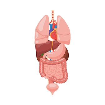 Anatomie des organes internes humains