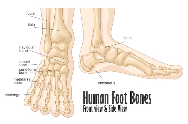 Anatomie des os du pied humain