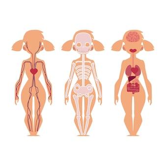 Anatomie, structure, organes internes du peuple vecteur
