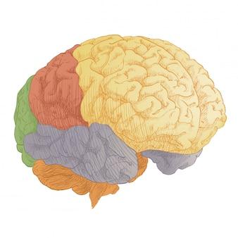 Anatomie de la tête du cerveau humain