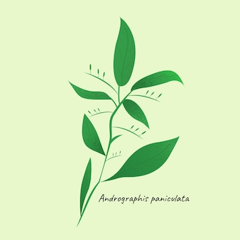Andrographis paniculata herbe illustration fond isolé